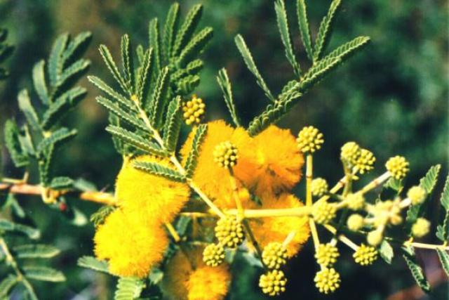 acacia nilotica4 lp