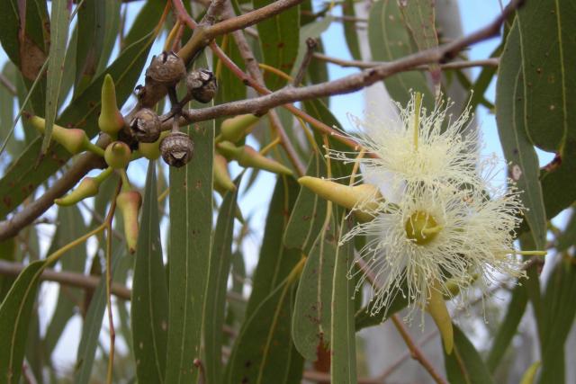 Eucalyptus tereticornis flowers, capsules, buds and foliage