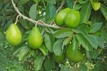 Sabia que as folhas de abacate são um poderoso remédio natural?